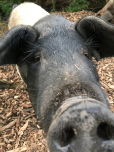 Poldervarkens